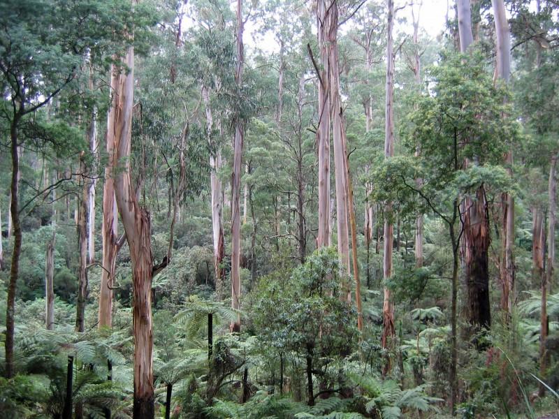 Эвкалиптовый лес